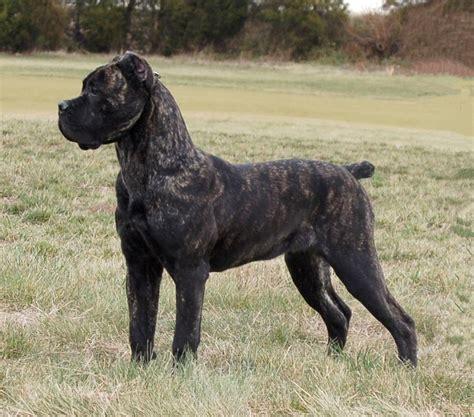 corso brindle puppy black brindle corso corsos presa canarios molossers oh my