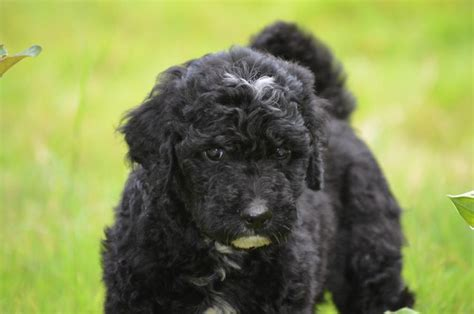 black labradoodle puppies chocolate labradoodle and mini labradoodle puppies chocolate labradoodle and mini