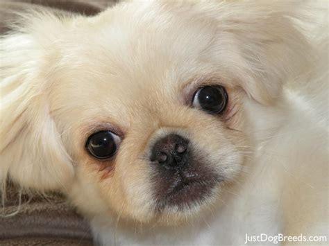 pekingese dogs pekingese shedding breeds picture