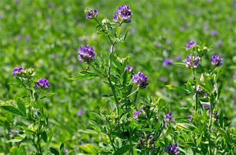Root Vegetable Identification - alfalfa plant britannica com