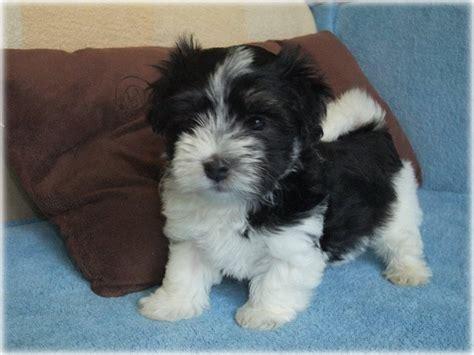 bischon havanese kir 225 lyerdei b 225 rsonykennel bichon havanese kuty 225 k 233 s kutyakozmetika budapesten