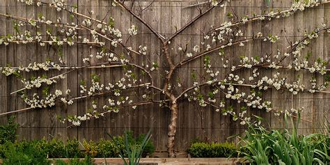 the beauty of espalier citrus trees decorative way of growing edibles powermums