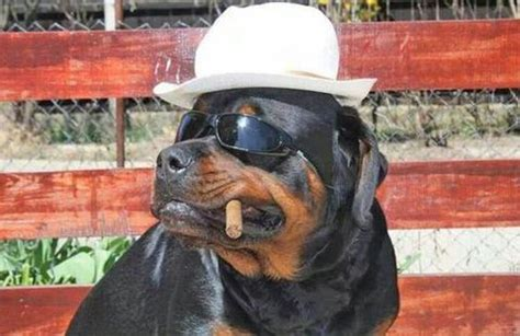 costumes for rottweilers rottweiler costumes some of the greatest pet costumes treats happen