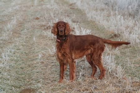 red setter dog temperament irish setter dog breed information on irish setters