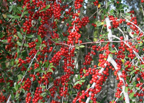 bushes with red berries offer winter garden color mississippi state university extension service