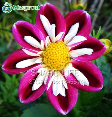 aliexpress com buy rare red and white point dahlia seeds