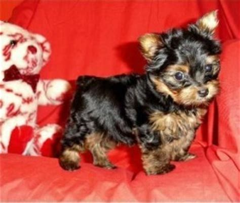 teacup yorkie for sale in amarillo tx dogs amarillo tx free classified ads