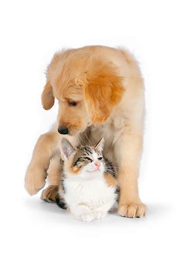 calico golden retrievers calico kitten animal stock photos kimballstock