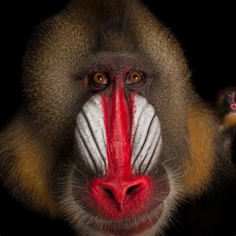 mandrill national geographic