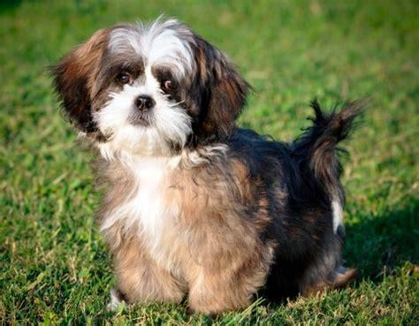 raza shih tzu precio precios de las razas de perros peque 241 os m 225 s populares