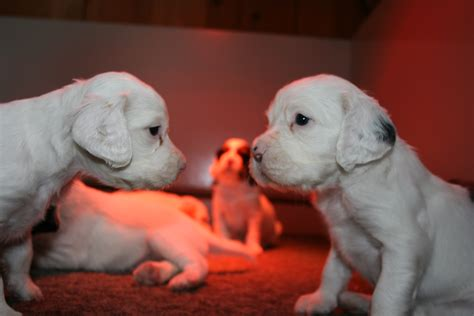 english setter dogs for sale in california what s new kendal hills kennels game farm country