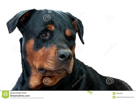 rottweiler white rottweiler isolated on white breeds picture