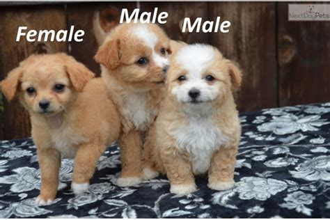 chipoo puppies for sale chi poo chipoo puppy for sale near san diego california
