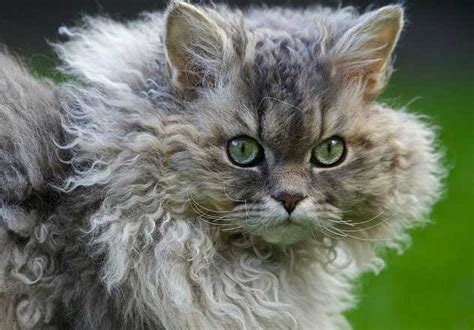 cat hair curly hair cat breeds and their personalities