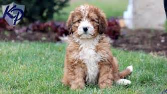 Bernedoodle mini puppies for sale in pa keystone puppies