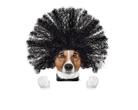 wallpaper funny dog hairstyle white background