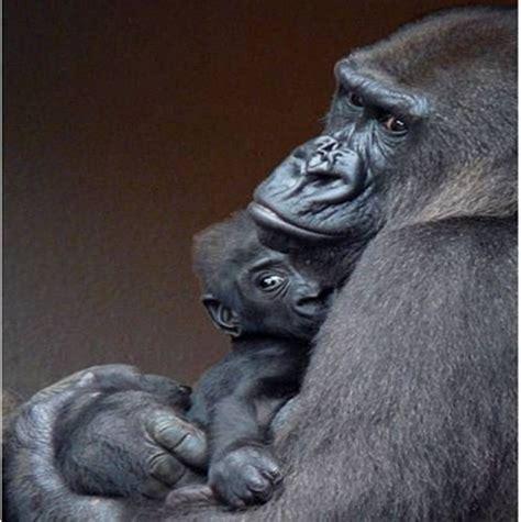 wild animals images gorillas wallpaper  background