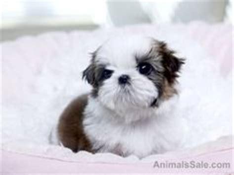 shih tzu for sale dubai teacup maltese shih tzu puppies for sale zoe fans baby animals