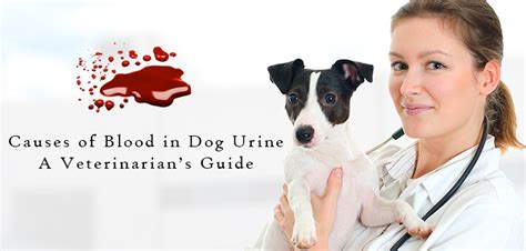 blood in dogs urine causes of blood in urine a veterinarian s guide vetsupply au