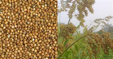Pakan Branjangan Sawah cara menanam budidaya sorgum cantel pertanian