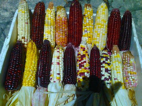 colored corn heirloom colored corn seeds opv