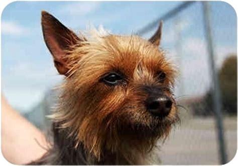 australian yorkie terrier maude adopted port on australian terrier yorkie terrier mix