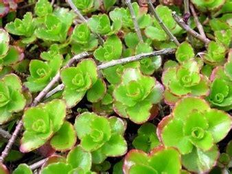 specie fiori sedum piante grasse