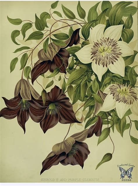 clematis tattoo designs 626 best images about vine illustrations images on