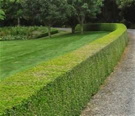 buxus hard beat formal hedge garden hedge