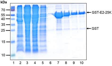 gst agarose glutathione xpure agarose resin protein expression
