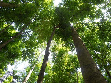 tree comments my clicks mahogany tree