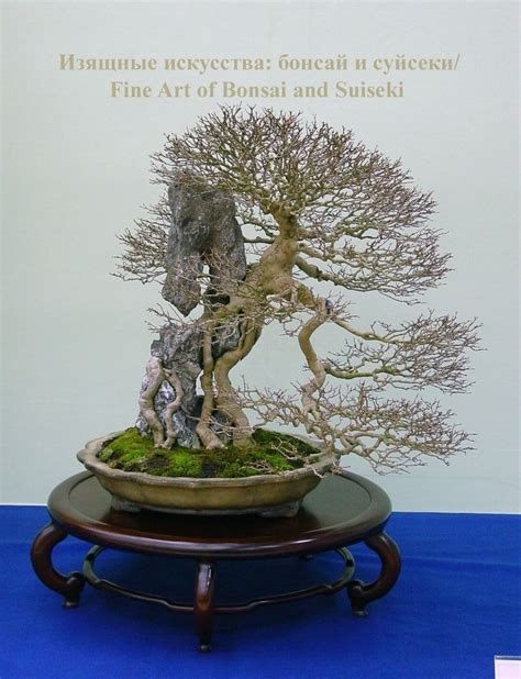 fruit p bonza 30 best images about bonza bonsai on