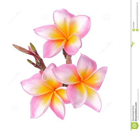 fiori frangipane frangipane tropicale dei fiori plumeria isolato su fondo