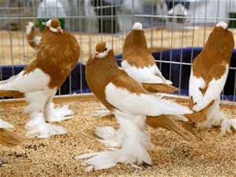 Jangkrik Pakan Walet pakan kusus burung merpati hias situs burung berkicau