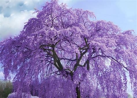 jacaranda perfect purple pinterest