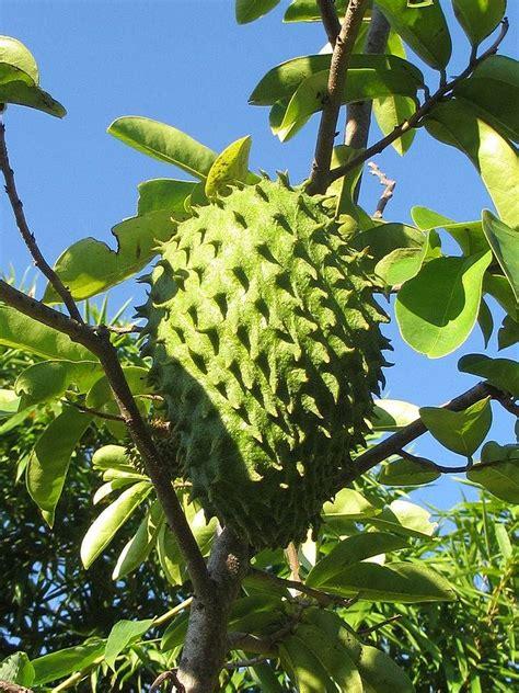 g fruit guanabana hojas secas de guanabana ecol 243 gicas t 233 guan 225 bana graviola