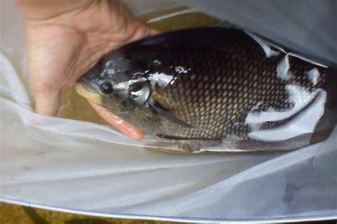 Bibit Ikan Gurami Soang jenis jenis gurami penyedia bibit ikan air tawar murah