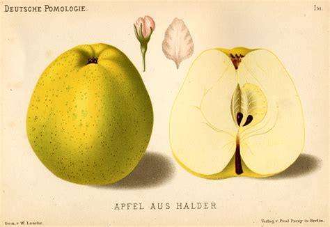 äpfel Alte Sorten 2951 by File Deutsche Pomologie Aepfel 051 Jpg Wikimedia Commons