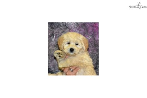 goldendoodle puppy nh mini midi goldendoodle puppy for sale near new
