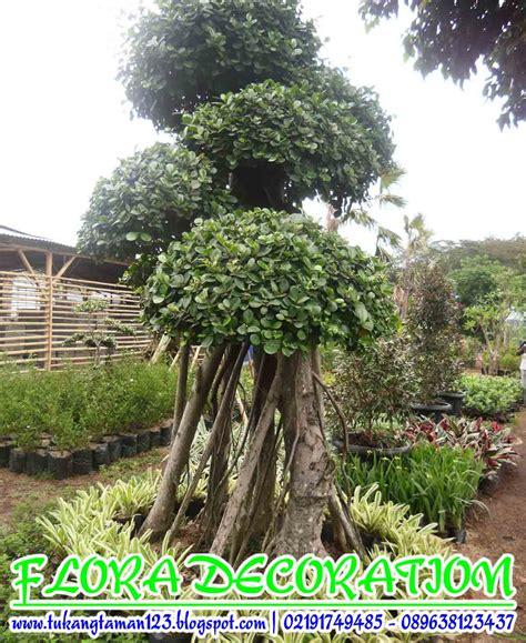 jual pohon bonsai beringin korea murah jual tanaman hias