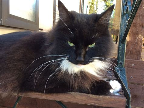 Oscar Male Long Haired Black & White Cat 4 yr old