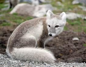 colors of foxes the arctic fox will change the colors of its coat from
