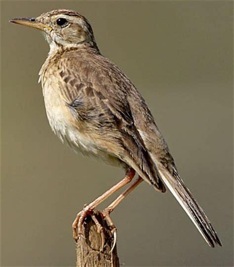 Pakan Tambahan Branjangan branjangan vs pipit kicau burung indonesia