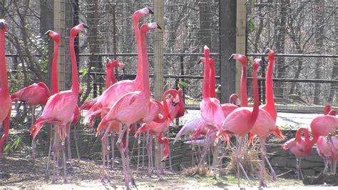 flamingos at the national zoo