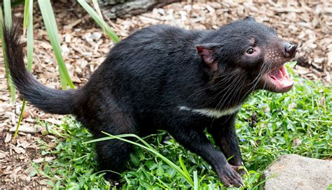 Tasmanian Devil Facts, History, Useful Information and ...