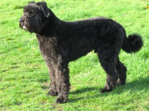 bouvier breed bouvier des flandres