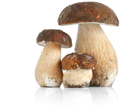 coltivazione funghi porcini vaso pan sas di giordano i prodotti linea funghi porcini secchi
