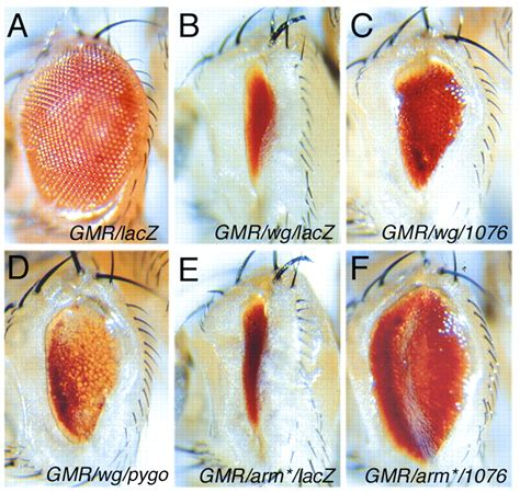 pygopus  nuclear phd finger protein required  wingless signaling  drosophila development
