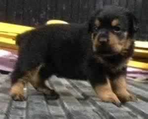 rottweiler puppies in louisiana german rottweiler puppies for sale louisiana sportsman classifieds la