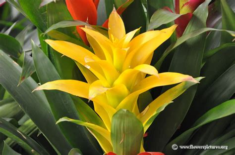 yellow bromeliad picture